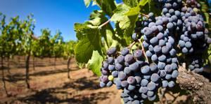 Витамины, белки, жиры и углеводы (БЖУ) в винограде