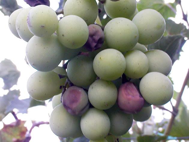 Как избавиться от милдью на винограде