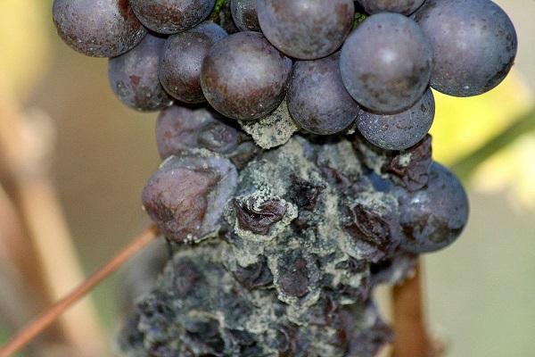 Виноград белая гниль