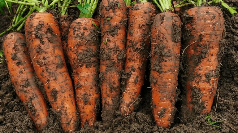 Чем подкармливать морковь весь сезон, чтобы была крупной и сладкой