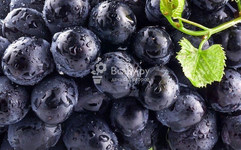 Черный виноград: вред и польза для организма