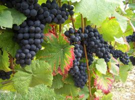 Как вырастить виноград на даче