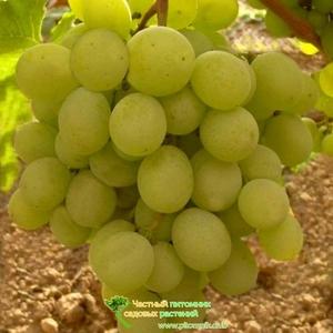 Какие отзывы о винограде кеша