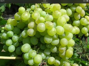 Как выглядит виноград кеша