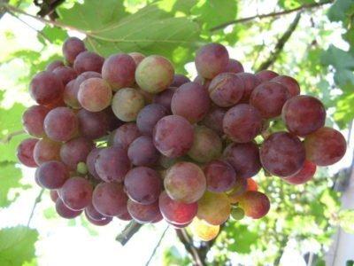 На фото спелый виноград