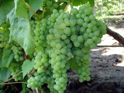 На снимке белый виноград
