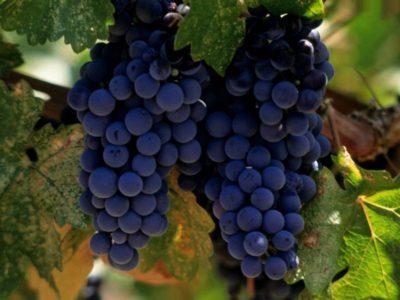 На фото гроздья винограда