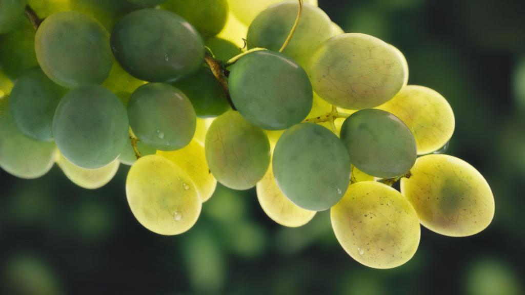 Виноград Кеша: описание сорта, характеристики, особенности выращивания