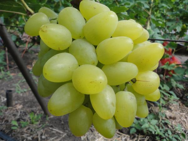 Виноград лора крупным планом