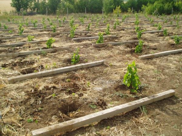 Посадка винограда лора в промышленном масштабе