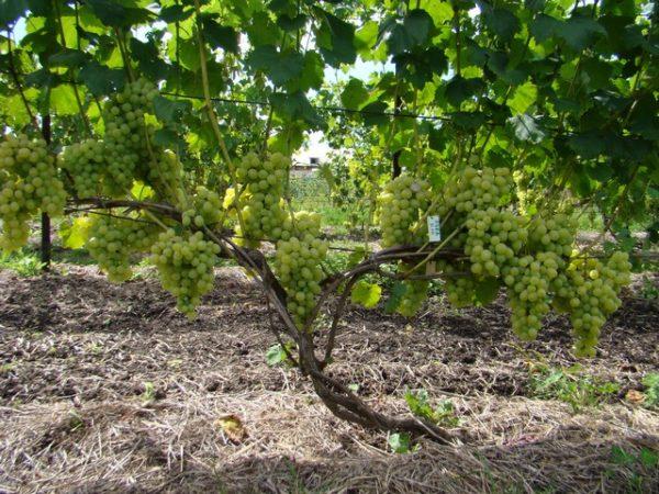 Лоза со зрелым виноградом лора