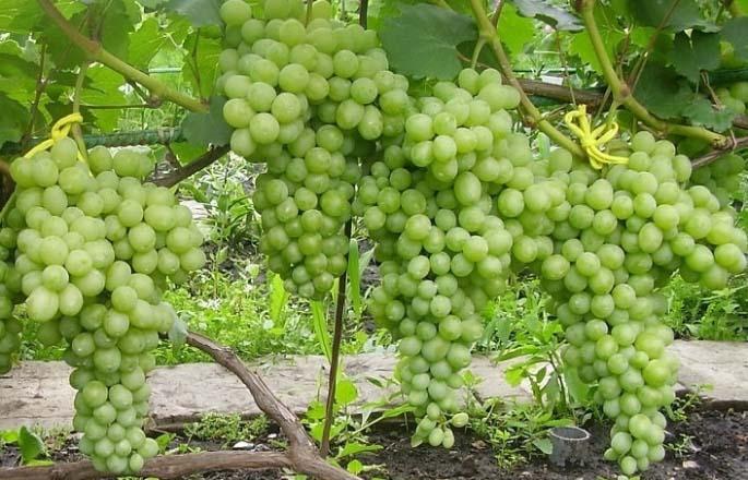 Виноград сорта «Лора» характеризуется ранним сроком созревания урожая