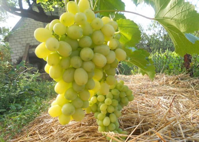Виноград сорта «Лора» не слишком капризен и требователен в уходе