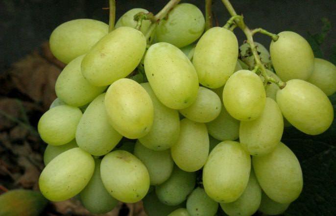 Сорт «Лора» относится к категории крупноплодных и высокоурожайных