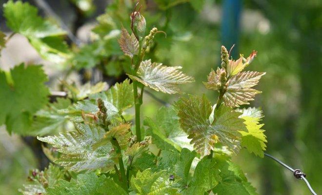 : Выращивание винограда