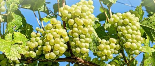 Виноград пищевая ценность. Виноград кишмиш описание сортов где растёт витамины пищевая ценность