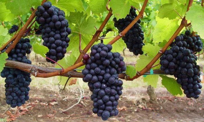 виноград посадка и уход