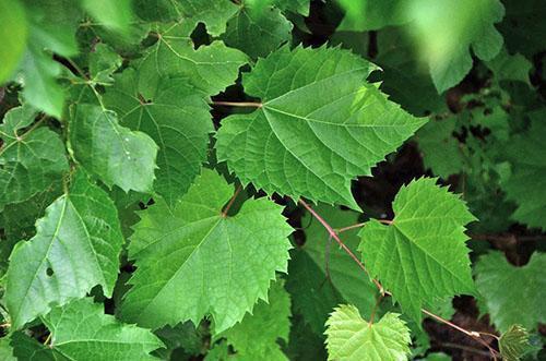 Листья винограда используют при женских болезнях