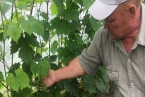 Посадка, уход и выращивание винограда в Удмуртии, описание лучших сортов для региона