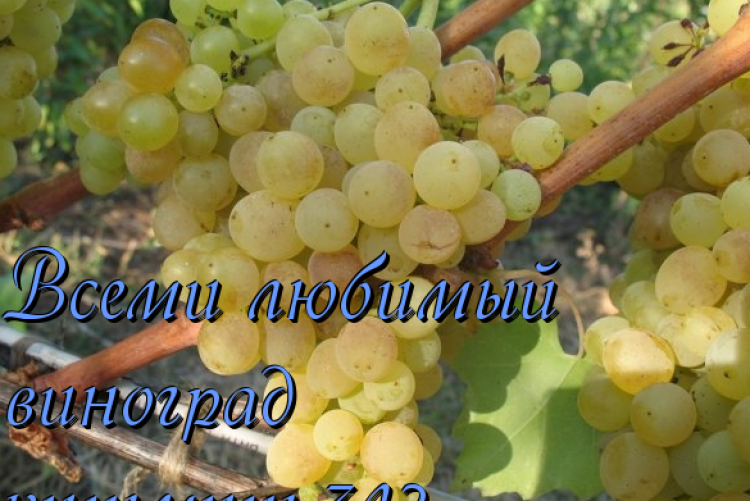 Всеми любимый виноград — Кишмиш 342 - Сорта винограда, Столовые