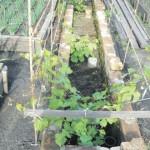 Посадка винограда в траншею