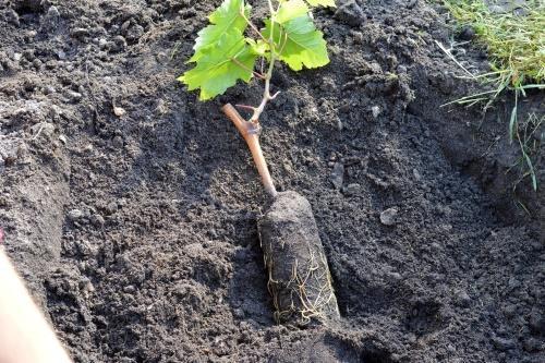 виноградный саженец