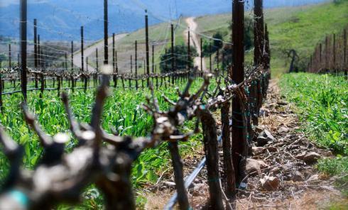 так осуществляется подвязка винограда